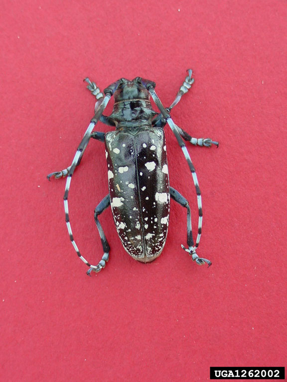 Consider, that Asian longhorn beetle picture site, with