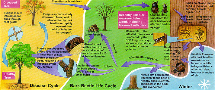 DED Disease Cycle