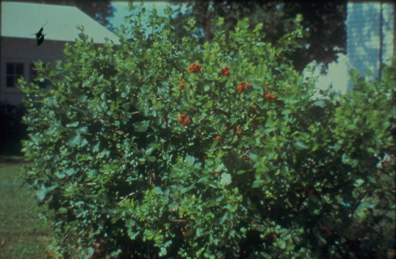Rhus aromatica or fragrant sumac is native to most of kansas